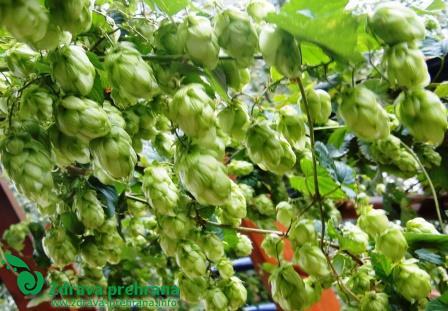 Bogastvo travnika jeseni - II. del - hmelj